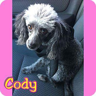 Poodle (Miniature) Dog for adoption in Mesa, Arizona - Cody