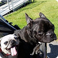 French Bulldog Puppy for adoption in Alden, New York - Bruno