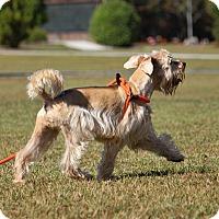 Adopt A Pet :: Beary - Pinehurst, NC