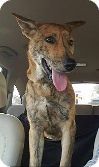 Dutch Shepherd Mix Puppy for adoption in Newcastle, Oklahoma - Leo