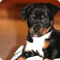 Adopt A Pet :: *Mirabelle - PENDING - Westport, CT