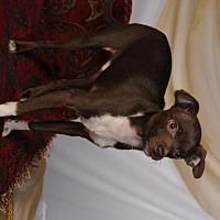 Adopt A Pet :: Comet - mishawaka, IN
