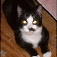 Domestic Shorthair Kitten for adoption in Stuarts Draft, Virginia - Petey