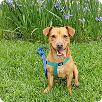 Adopt A Pet :: Brownie - Baton Rouge, LA