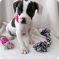 Adopt A Pet :: Darla - Newark, DE