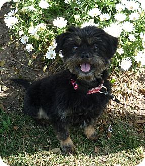 Shih Tzu/Schnauzer (Miniature) Mix Dog for adoption in El Cajon, California - CINDY (NY)
