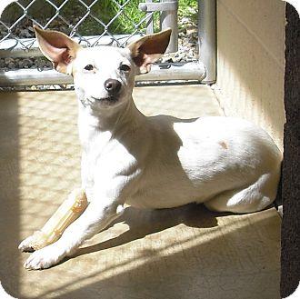 Chihuahua/Dachshund Mix Dog for adoption in Wickenburg, Arizona - ROSCO