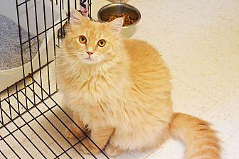 Domestic Shorthair Cat for adoption in Lincoln, Nebraska - Payday