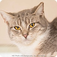Adopt A Pet :: Grey - Fountain Hills, AZ
