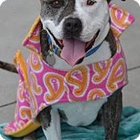 American Pit Bull Terrier/American Bulldog Mix Dog for adoption in San Diego, California - Ruby