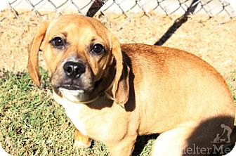 Pug/Beagle Mix Puppy for adoption in Goodlettsville, Tennessee - Evie