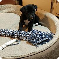 Adopt A Pet :: Jingle - Eastpointe, MI