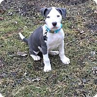 Adopt A Pet :: Wynston - Grand Rapids, MI