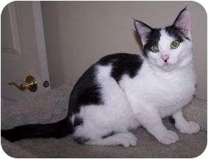 Domestic Shorthair Cat for adoption in Colorado Springs, Colorado - K-Melody2-Christoper