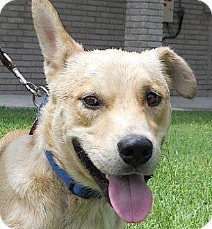 Labrador Retriever/German Shepherd Dog Mix Dog for adoption in Kingwood, Texas - Buddy2
