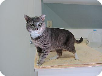 Domestic Shorthair Cat for adoption in Kingston, Washington - Bluto