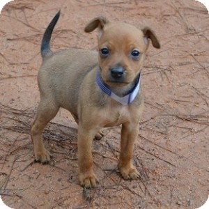 Terrier (Unknown Type, Small) Mix Puppy for adoption in Athens, Georgia - Champ