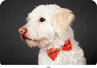 Poodle (Miniature) Mix Dog for adoption in New York, New York - Cano