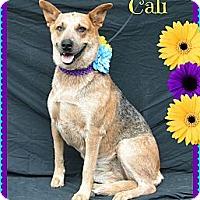 Adopt A Pet :: Cali - Plano, TX