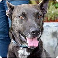 Adopt A Pet :: Amos - Sunnyvale, CA