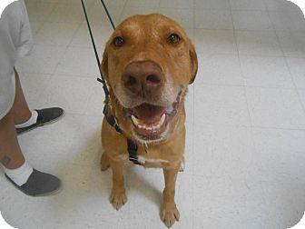 Golden Retriever/Labrador Retriever Mix Dog for adoption in Lockhart, Texas - Cooper