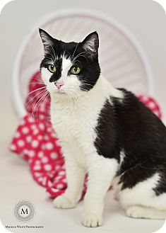 Domestic Shorthair Cat for adoption in St. Louis, Missouri - Flora