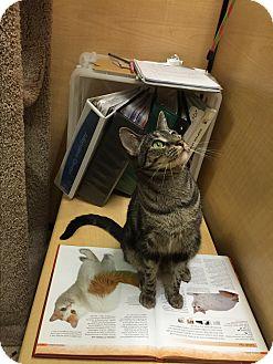 Domestic Shorthair Cat for adoption in Brea, California - TRIXIE