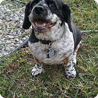 Cocker Spaniel/Shih Tzu Mix Dog for adoption in Cape Coral, Florida - Chuckie