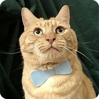 Domestic Shorthair Cat for adoption in Tega Cay, South Carolina - Tiggi