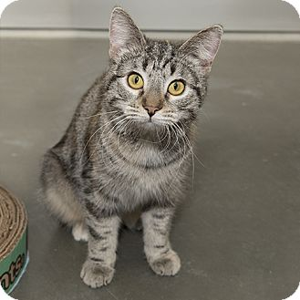 Domestic Shorthair Cat for adoption in Wilmington, Delaware - Holly