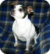 Chihuahua/Rat Terrier Mix Dog for adoption in Seattle, Washington - Bo