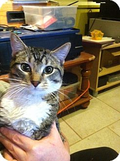 Domestic Shorthair Cat for adoption in Pittstown, New Jersey - Luke