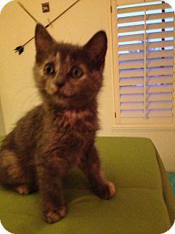 Domestic Shorthair Kitten for adoption in Fountain Hills, Arizona - CANDI