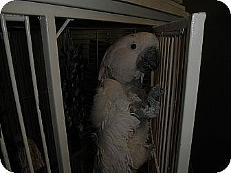 Cockatoo for adoption in Neenah, Wisconsin - Mikki