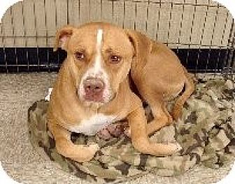 Pit Bull Terrier Mix Dog for adoption in Las Vegas, Nevada - Rascal aka Pretzel