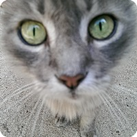 Domestic Longhair Cat for adoption in Naples, Florida - Eddie