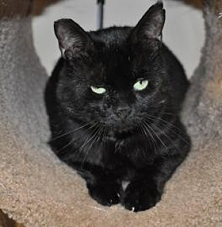 Domestic Shorthair Cat for adoption in Pompano Beach, Florida - CHIEF