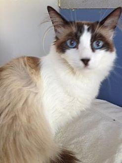 Snowshoe Cat for adoption in Roseville, California - Bandit