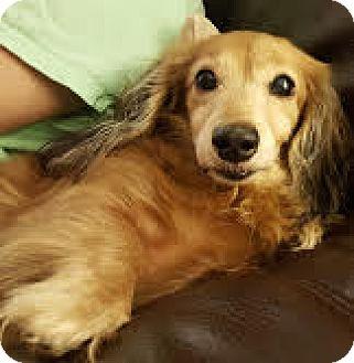 Dachshund Dog for adoption in Decatur, Georgia - Miss Kitty