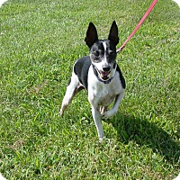 Rat Terrier Mix Dog for adoption in Cameron, Missouri - Nico