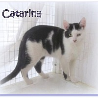 Domestic Shorthair Cat for adoption in Culpeper, Virginia - Catarina