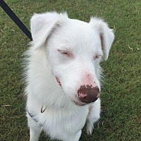 Australian Shepherd Mix Dog for adoption in Lockhart, Texas - Blue