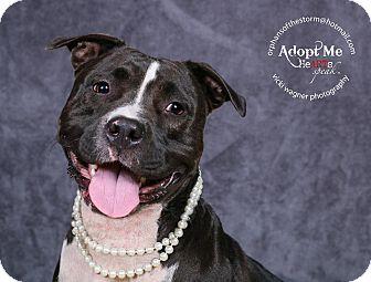 Pit Bull Terrier Mix Dog for adoption in Cincinnati, Ohio - Journey