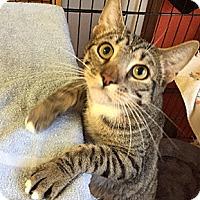 Adopt A Pet :: Pussnboots - Oakland, CA