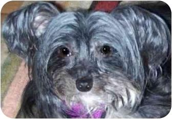 Chinese Crested Dog for adoption in Edmeston, New York - Mitzi-NY