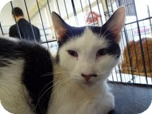 Domestic Shorthair Cat for adoption in East Brunswick, New Jersey - Dottie