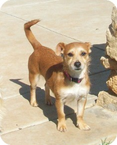 Jack Russell Terrier/Dachshund Mix Dog for adoption in Tustin, California - Smiles