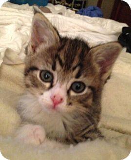 Domestic Mediumhair Kitten for adoption in Reston, Virginia - Bo