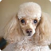 Adopt A Pet :: Yukon - Essex Junction, VT