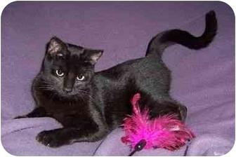 American Shorthair Cat for adoption in Spencer, New York - Kitty Corn